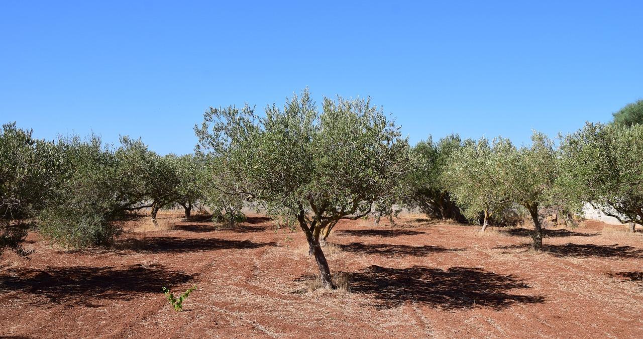 Berühmt Olivenbaum schneiden: Zeitpunkt und Schritt-für-Schritt-Anleitung #XD_46