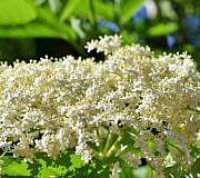 Holunderblütentee – ein vielseitiger Heil- und Kräutertee