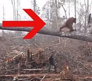 Orang Utan Regenwald Video