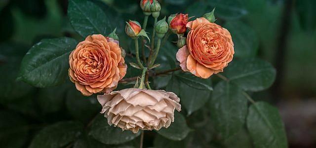 rosen pflanzen anleitung zeitpunkt und die richtige pflege. Black Bedroom Furniture Sets. Home Design Ideas