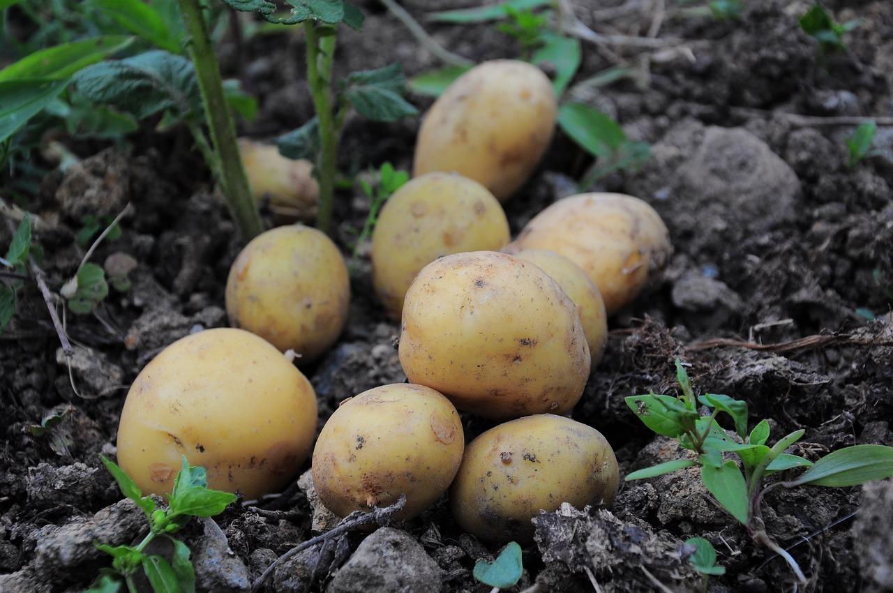Von Ende Mai / Anfang Juni bis Oktober ist in Deutschland Kartoffelsaison.