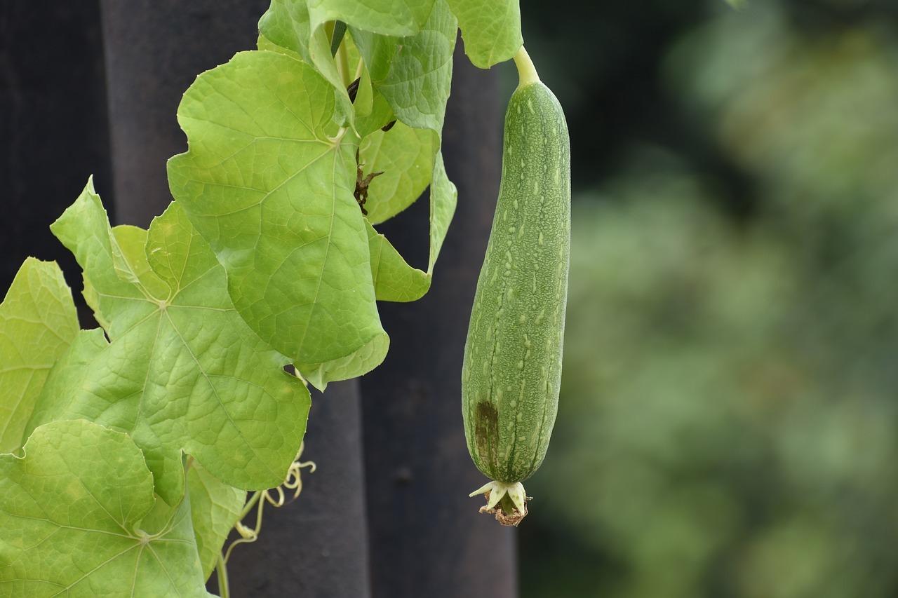 Die Frucht der Luffa-Pflanze ähnelt der Zucchini