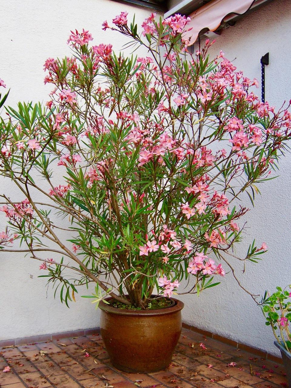 oleander vermehren mit stecklingen oder samen. Black Bedroom Furniture Sets. Home Design Ideas