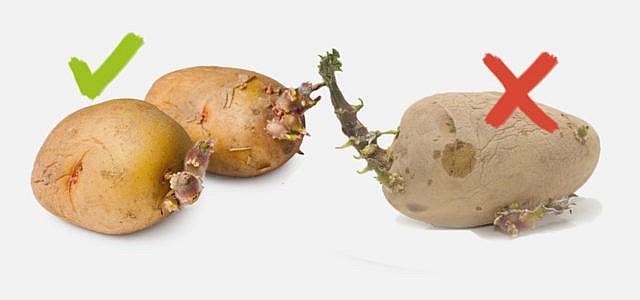 Kartoffeln giftig