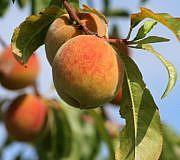 Pfirsichbaum schneiden