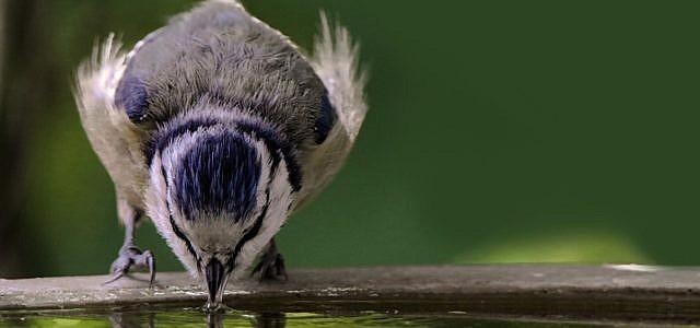 Auch Vögel müssen regelmäßig trinken