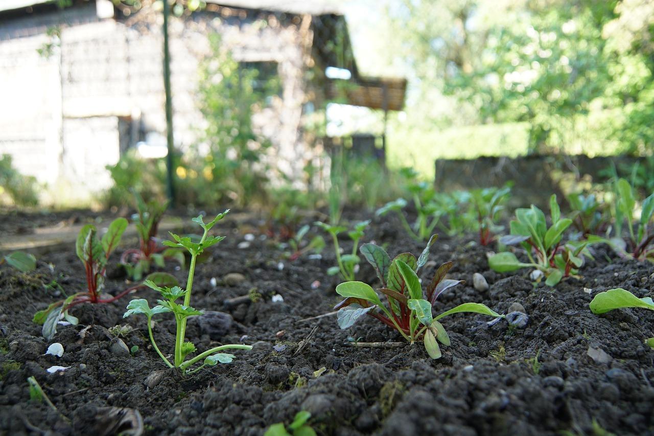 Top Mangold pflanzen: So pflegst und erntest du das Gemüse - Utopia.de &JY_52