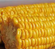 Gekochte Maiskolben.