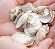 Gesammelte Muscheln am Strand