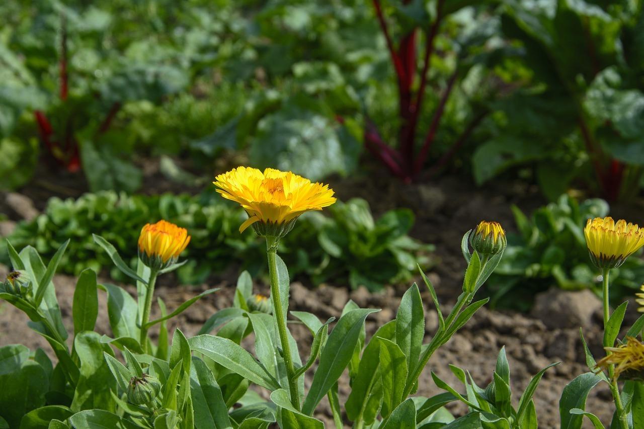 Geliebte Mangold pflanzen: So pflegst und erntest du das Gemüse - Utopia.de #ZI_66