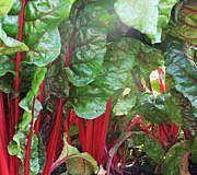 Mangold wächst wunderbar im Garten