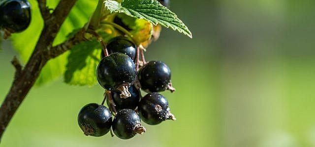 schwarze johannisbeere rezepte