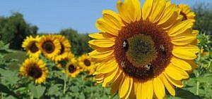 Sonnenblumen anpflanzen