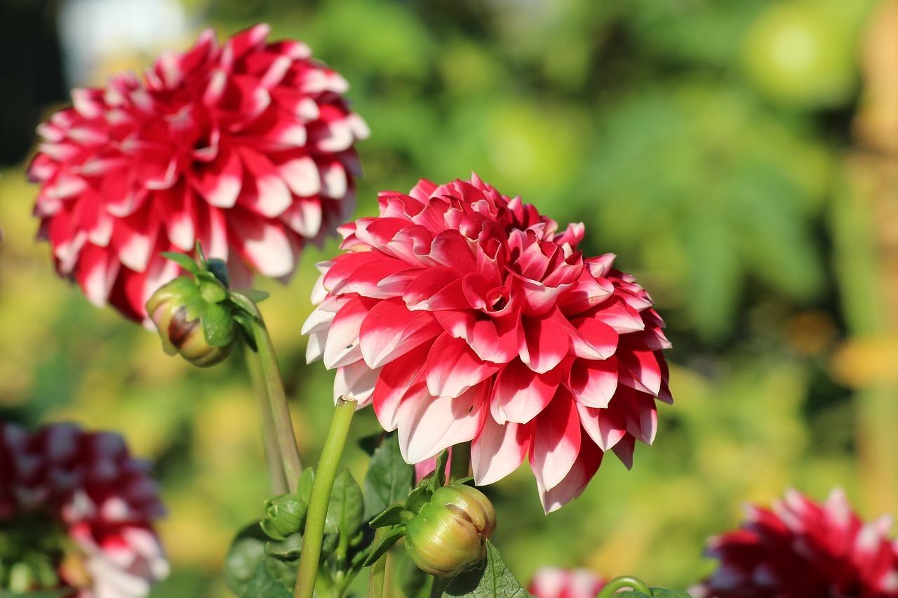 Gemeinsame Dahlien überwintern: So bleiben die Pflanzen über den Winter fit #JY_29