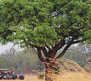 Marula-Baum