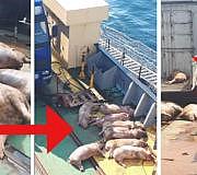 Fleisch, Schweine, Schweinefleisch, Tiertransporte, Peta