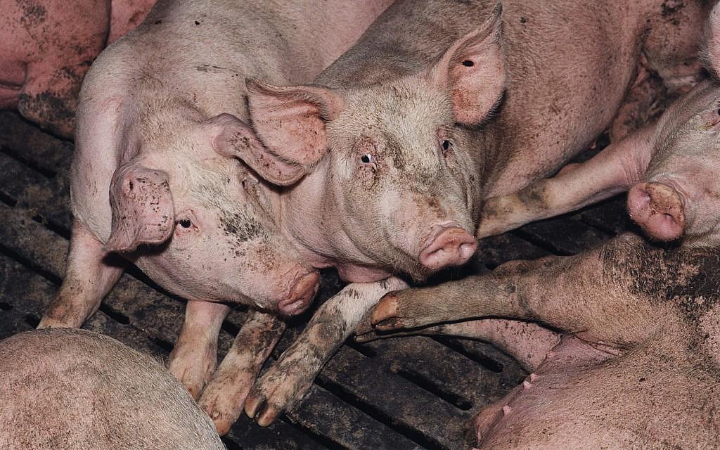Von Tierwohl weit entfernt: Tierhaltung nach gesetzlichen Standards.