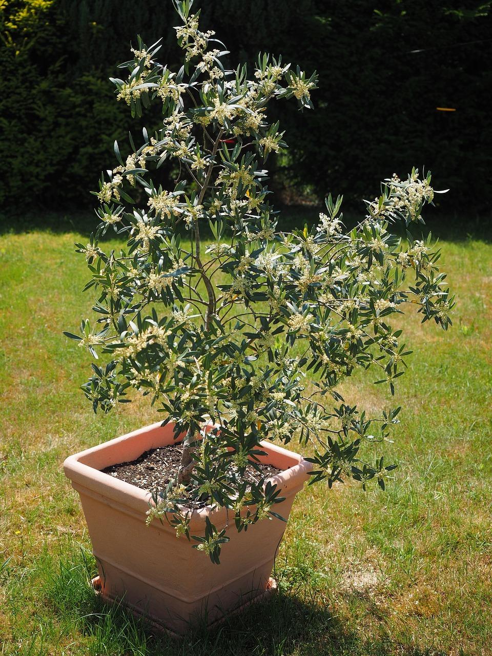 olivenbaum berwintern anleitung und pflegetipps. Black Bedroom Furniture Sets. Home Design Ideas
