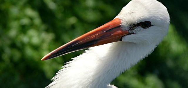 Mit dem Storch hat der Storchenbiss nur im weitesten Sinne zu tun.