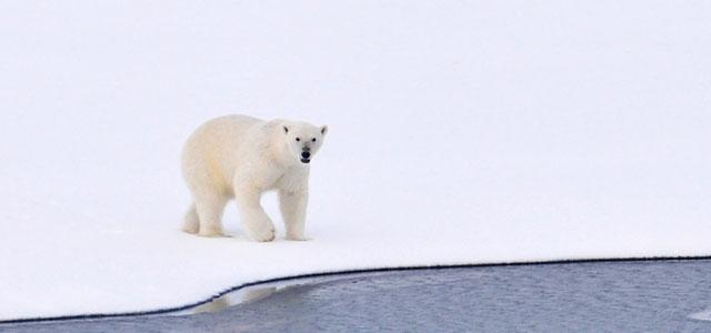 Naturstrom Eisbär Klimawandel ÖkoStrom