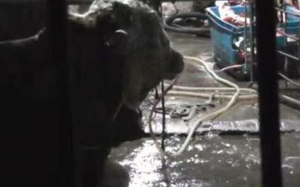 Besonders kranker Fall von Tiermisshandlung: Rinder durch Nasenlöcher mit literweise Wasser vollgepumpt