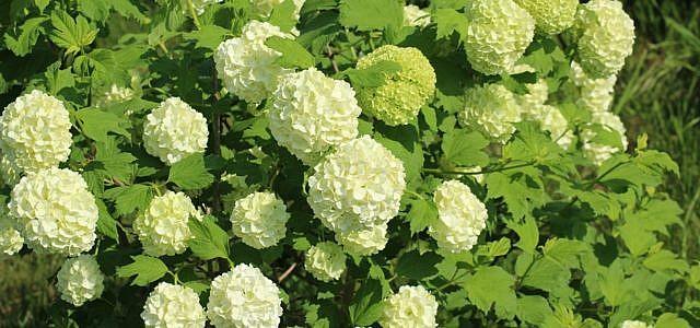 Schneeball-Pflanze