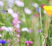 Insektensterben: Blumenwiese ohne Insekten