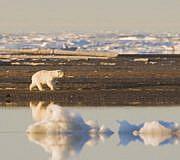 Klimaschutz Klimawandel Eisbär Polarbär