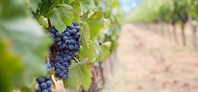 Weintrauben enthalten Flavonoide