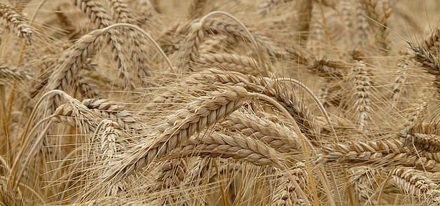 Weizen, Getreide