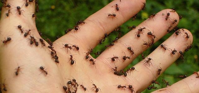 Ameisen mit Hausmitteln bekämpfen