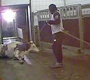 Fleischskandal: kranke Tiere in einem Schlachtbetrieb