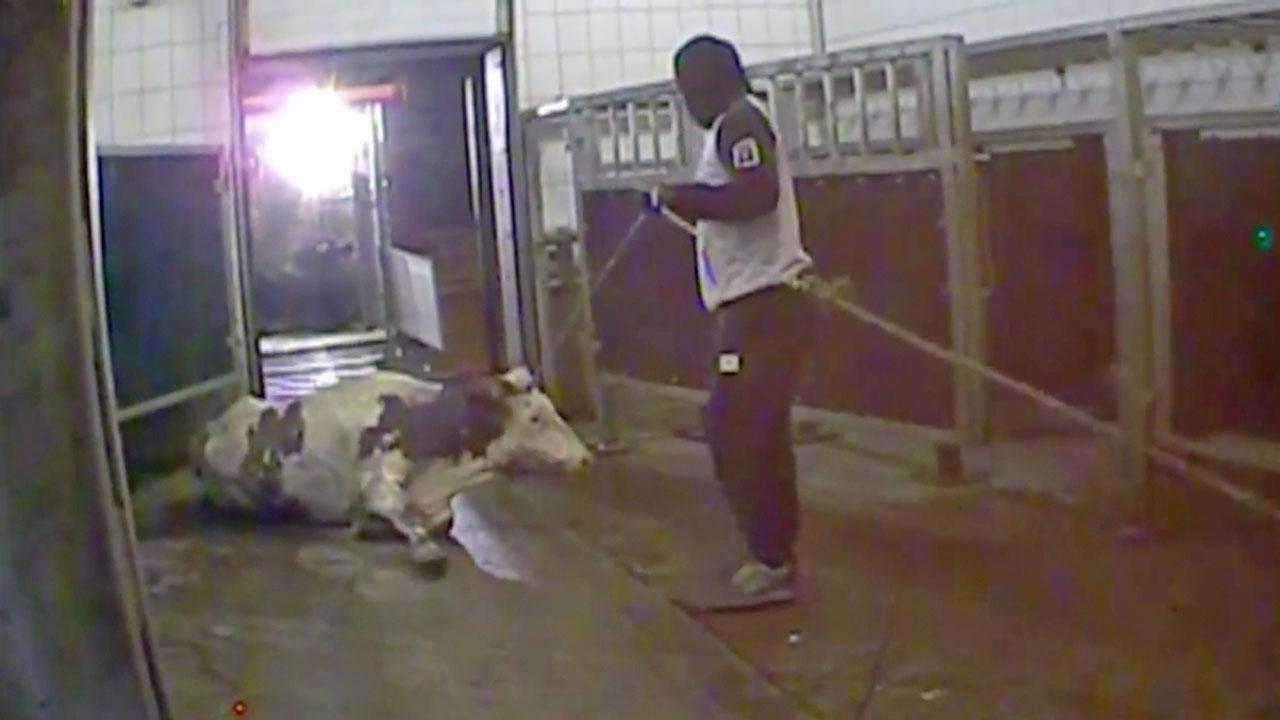 Geheime Schlachtung kranker Kühe – polnische Reporter decken Fleischskandal auf