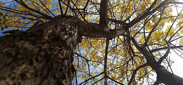 Lapacho-Baum