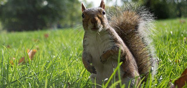 London, Eichhörnchen, Fleisch