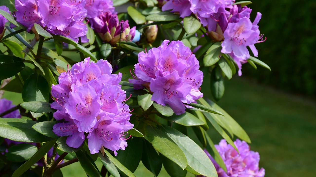 Hervorragend Rhododendron schneiden: So gelingt der richtige Schnitt - Utopia.de DX63