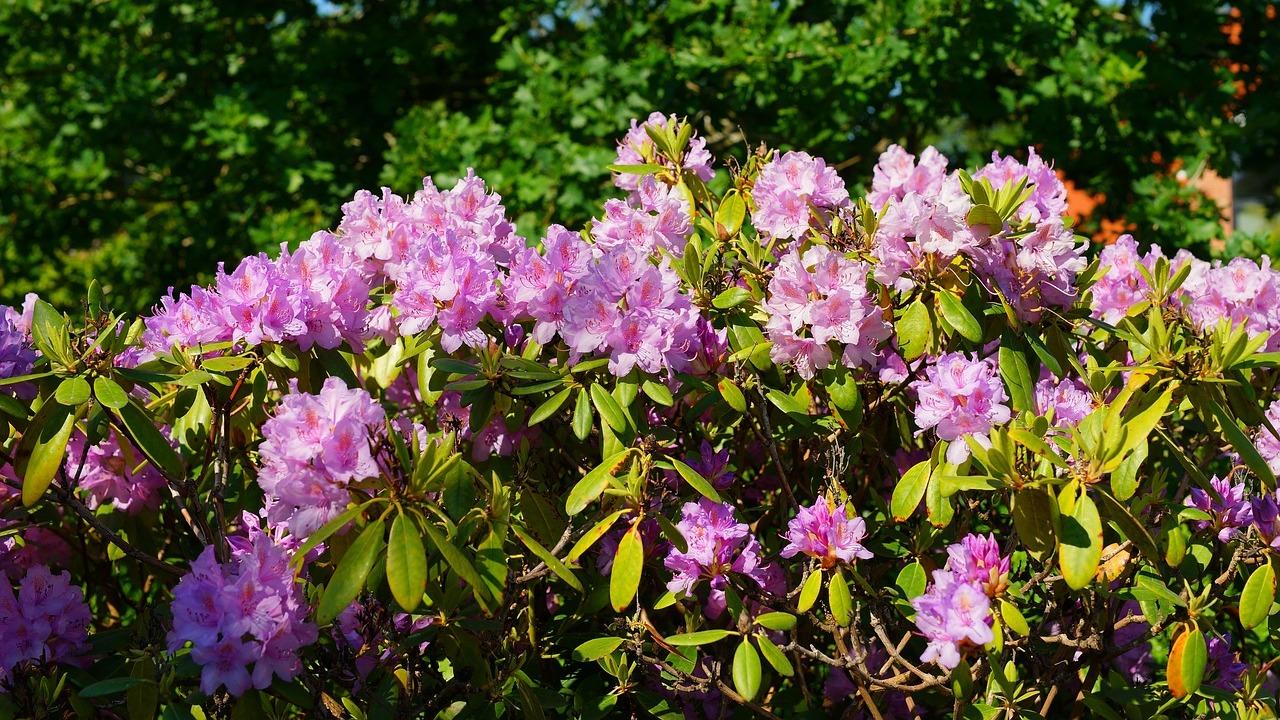 Beliebt Rhododendron: Richtige Pflege für eine schöne Blüte - Utopia.de WJ35