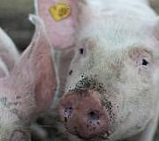 Das staatliche Tierwohllabel soll Verbraucher beim Fleischkauf besser informieren