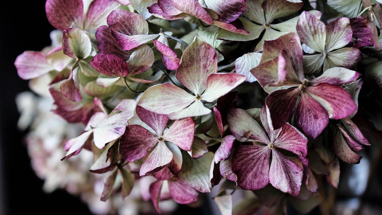 Relativ Hortensien trocknen: Mit diesen Tipps machst du die Blüten haltbar CI37