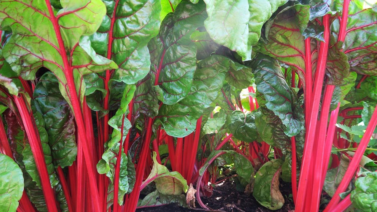 Geliebte Mangold pflanzen: So pflegst und erntest du das Gemüse - Utopia.de &WR_33