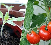 Tomaten-pflanzen