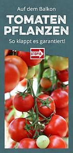 Tomaten pflanzen auf dem Balkon: So klappt es