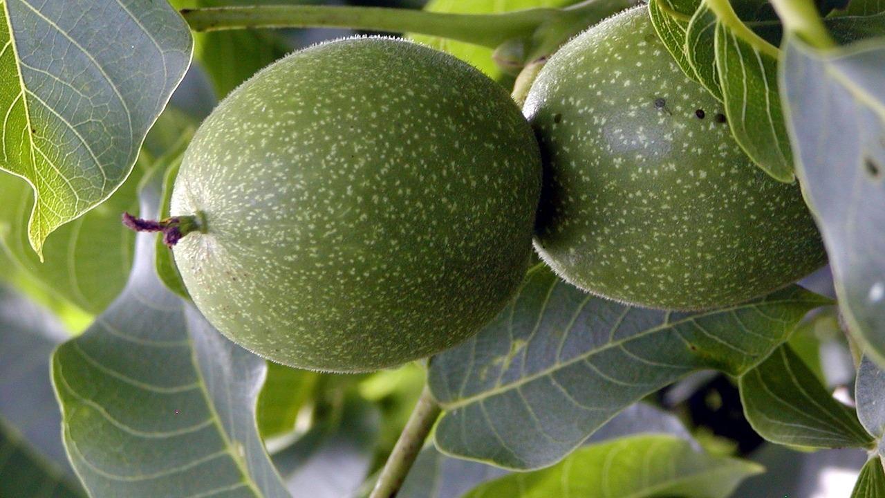 walnussbaum schneiden der beste zeitpunkt und die richtige technik