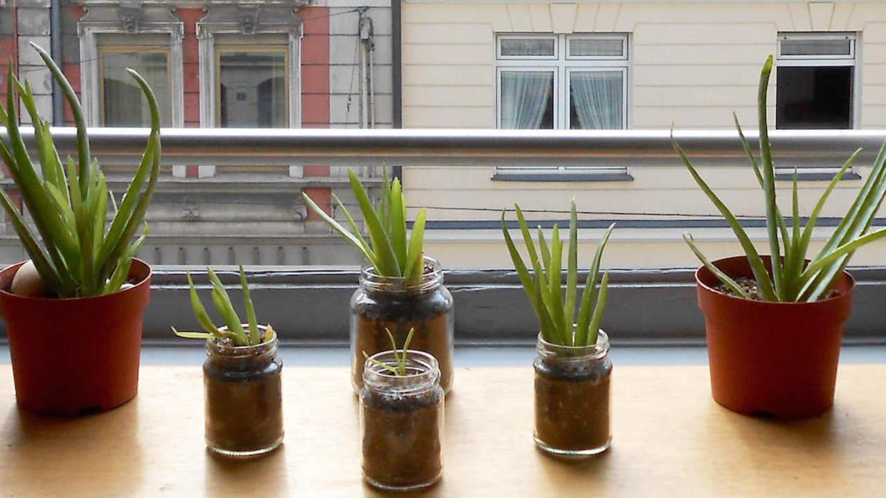 aloe vera anpflanzen die besten pflege tipps utopia de