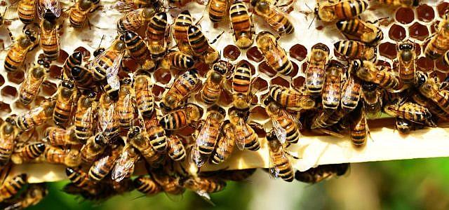 Biene bienenpatenschaft