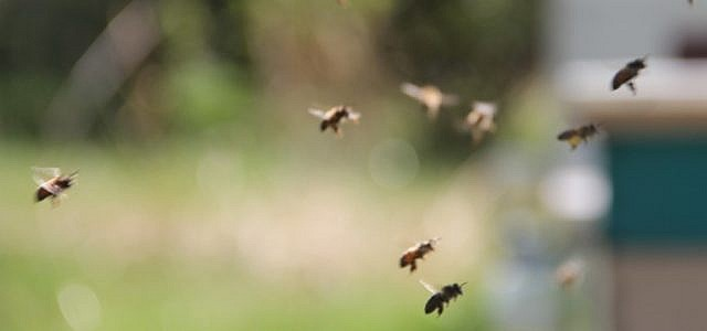 Biene Wespe