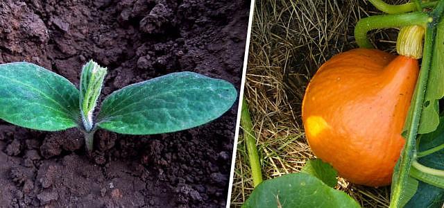 Kürbis anpflanzen pflegen und ernten