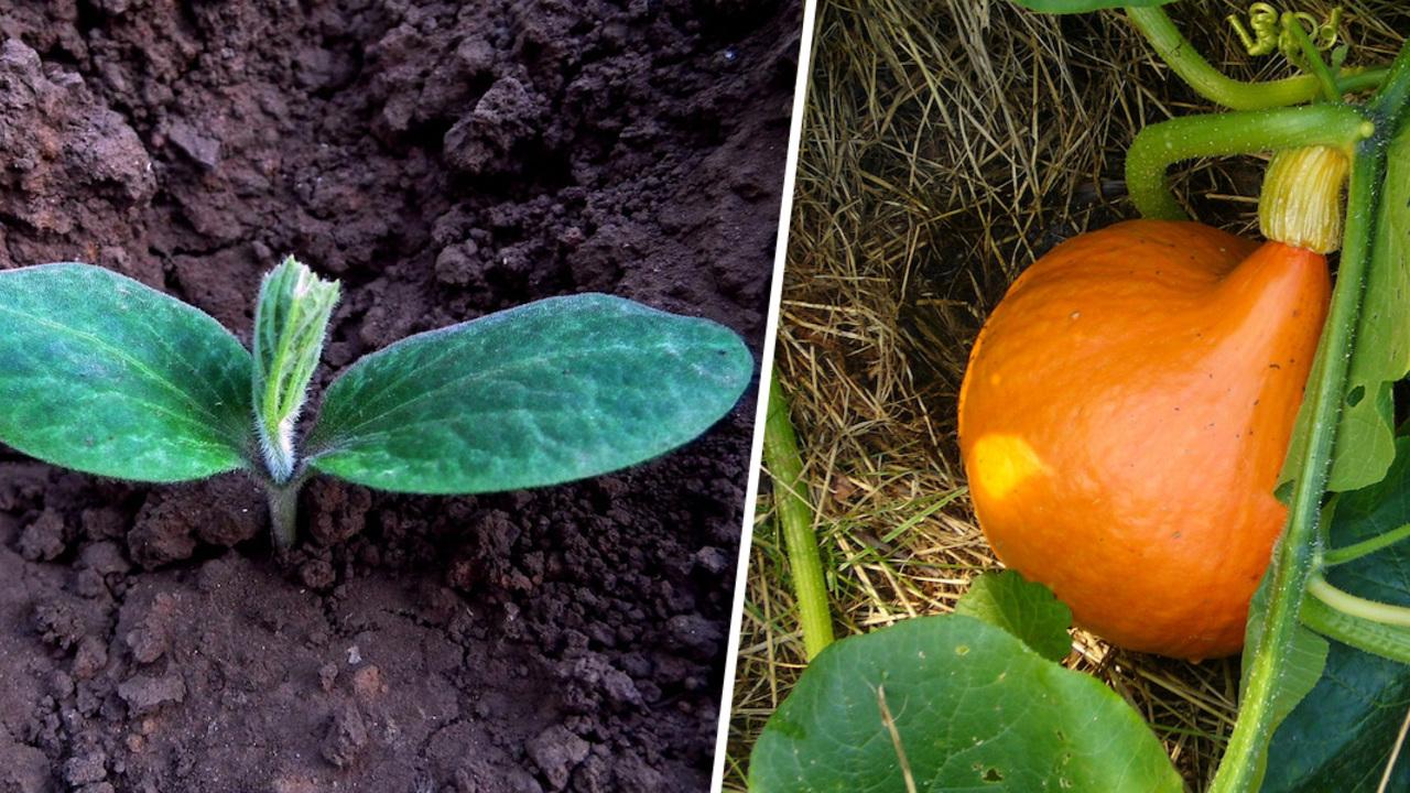 K-rbis-anpflanzen-Anbau-Pflege-und-Ernte-so-geht-s