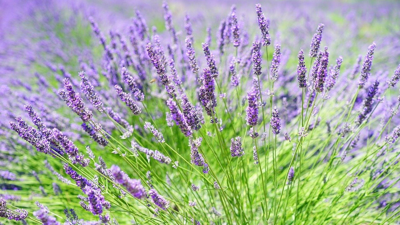 Lavendel Schneiden Zeitpunkt