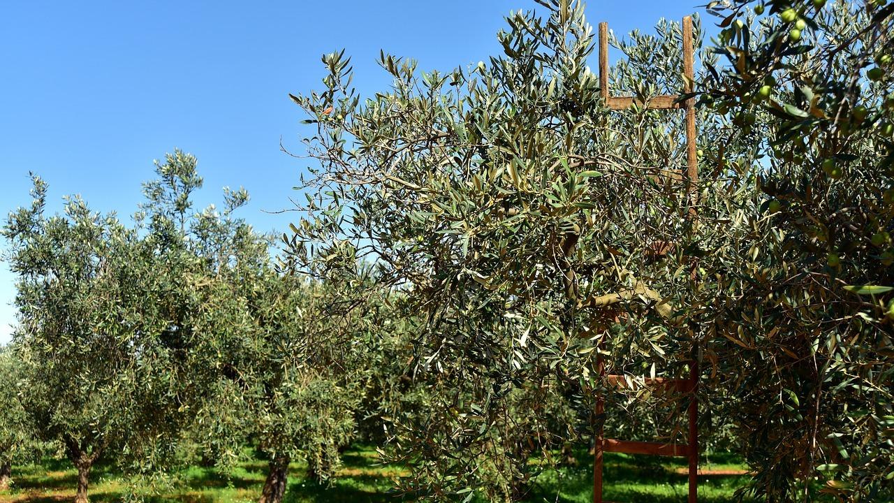 Gemeinsame Olivenbaum schneiden: Zeitpunkt und Schritt-für-Schritt-Anleitung &AK_34